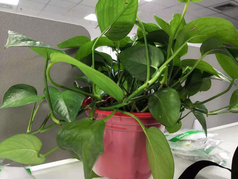 办公室绿植怎么选?这几类可做参考